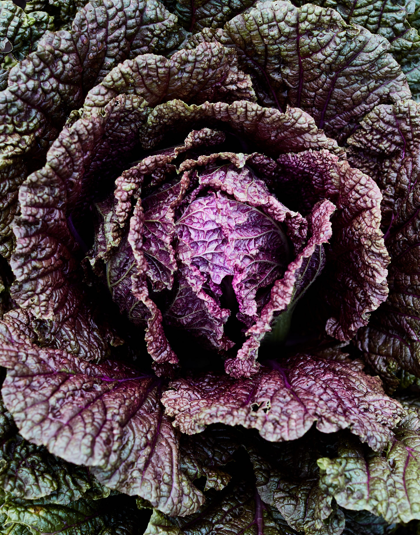 7985-JM-S02-Cabbage-0428